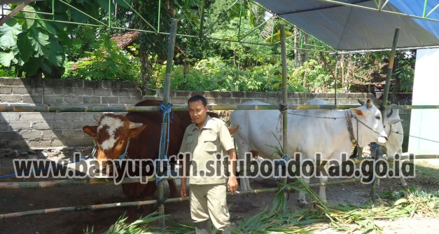 Ternak Sapi Unggulan Desa Wonorejo Kec Banyuputih